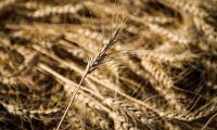 Genmodifierat vete får grönt ljus