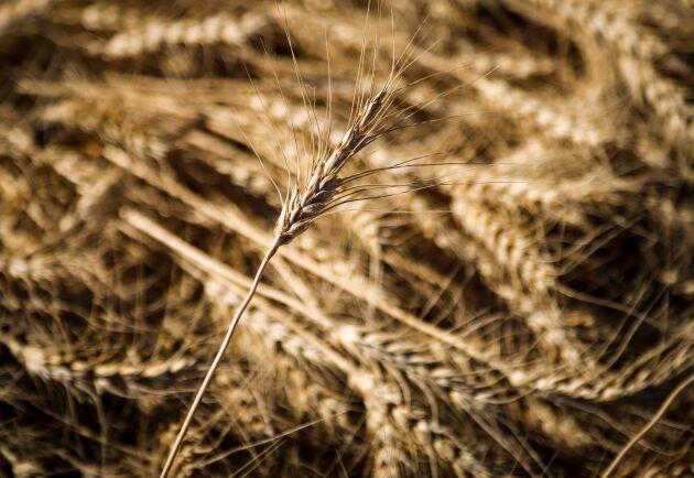Argentina säger ja till genmodifierat vete. Arkivbild.