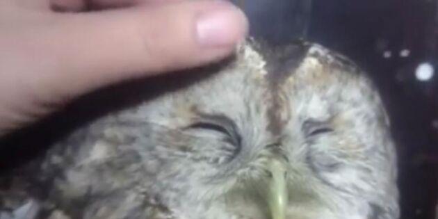 Unik film: Se den vilda ugglans oväntade reaktion – varning för sötchock!