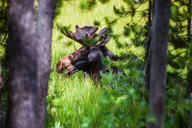 Skogsstyrelsen har inventerat viltbetesskadorna i skogen.
