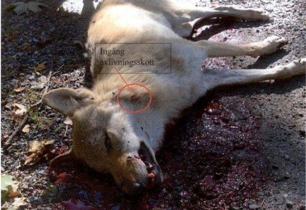 Vargstammen har minskat. Denna varg sköts 2015 i Sjundareviret mellan Södertälje och Gnesta.