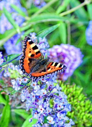 Buddlejans blommor är helt oemotståndliga för fjärilar.