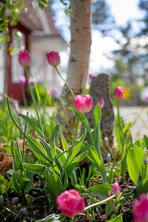Tulpaner, tulpaner överallt på gården i ångermanländska Backsjö.