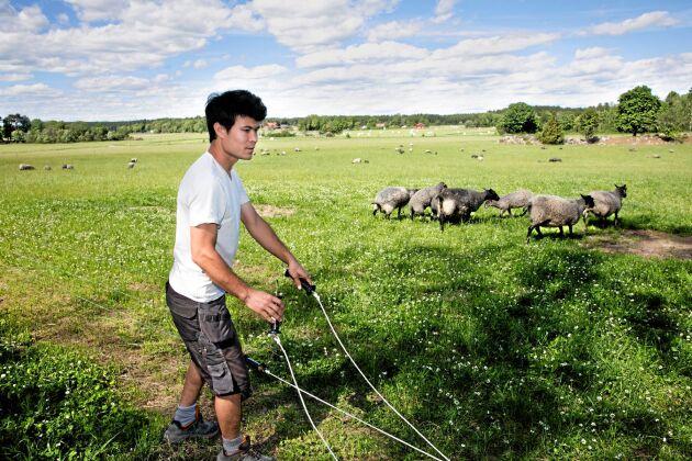Najib Rezai gillar kontakten med djuren. Fårskötsel ingick i det lantbruk som hans familj drev i Afghanistan när han var barn.