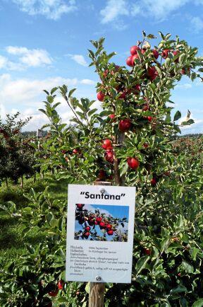 Tolv äpplesorter finns på fältet. Tydlig information om sortens egenskaper och skördetidpunkt ger nöjda kunder.