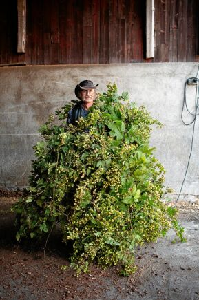 Om det vill sig väl ger en ranka från humleplantan en rejäl skörd.