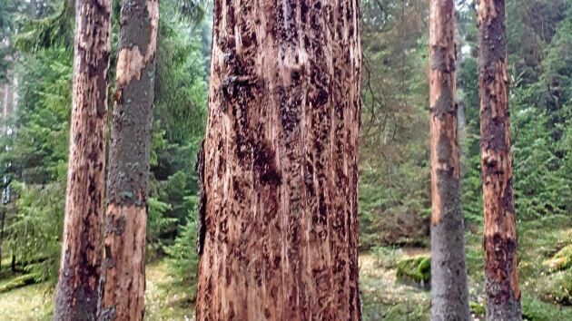 Träd angripna av granbarkborre i Götaland.