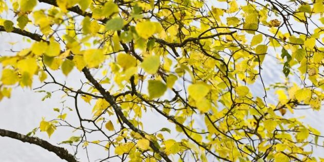 Lövträd tar höst i förtid