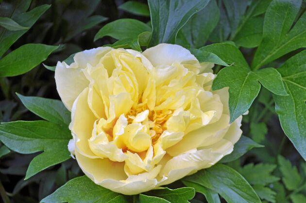'Bartzella', en itoh-hybrid med stora varmt gula blommor. Blommar rikligt, doftar gott och får fina höstfärger.