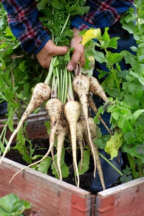Testa att odla palsternacka. 'White King' klarar att stå kvar under vintern och skördas tidigt på våren.