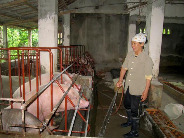 Miljontals vietnamesiska grisar tros ha smittats av afrikansk svinpest. Denna grisbonde har sina grisar i Hai Duong-regionen, Vietnam.