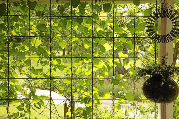 Gröna väggar, ett sätt att se men inte synas och få ljuset behagligt silat genom grönska.
