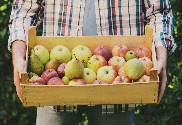 Det går utmärkt att blanda äpplen och päro när du mustar.
