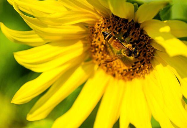 Frankrike förbjuder vissa växtskyddsmedel – för att skydda bin.