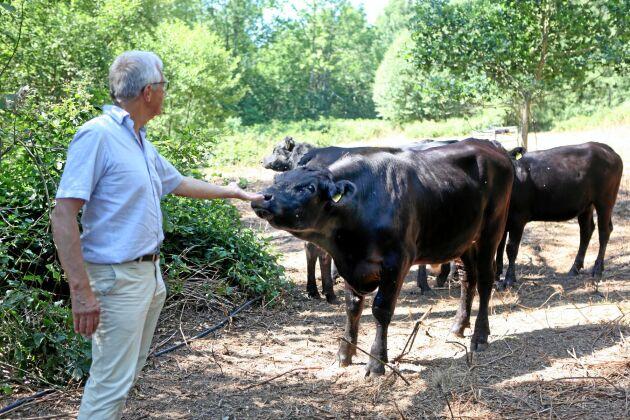 För att inte behöva ta in djuren stängslar Lennart E Bengtsson på Wapnö gård in 300 hektar skog för bete. FOTO: CHRISTEL LIND