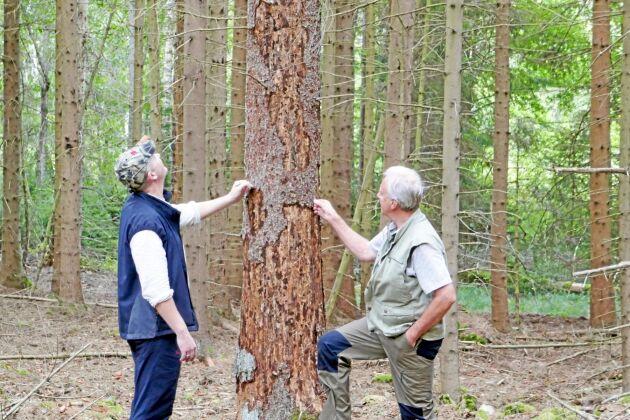 Ulf Sivberg, inköpare Vida Skog, och Bengt Arvidsson, skogsägare, vid ett av flera träd som angripits av granbarkborrar.