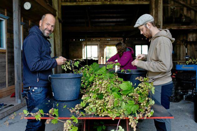 Mats och Pontus Broström hjälper till med att plocka humlekottar från rankorna.