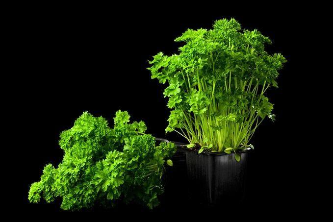 Bildkälla: Grönsaksmästarna