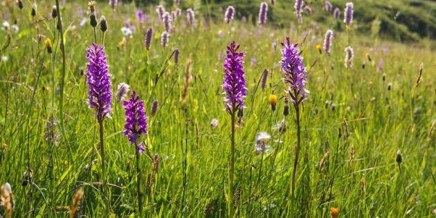 7 syndiga midsommarblommor du inte visste var orkidéer