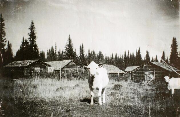 Gammal bild på en av familjens kor. Mjölken var livsviktigt för familjen och korna höll ängarna öppna.