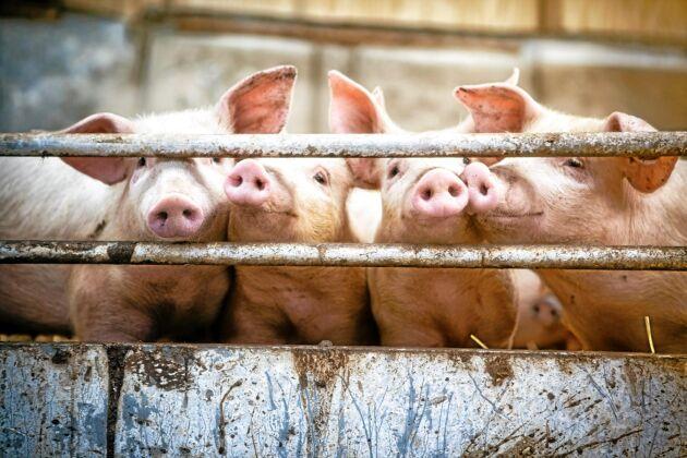 Grisnäringen är en av lantbruksnäringarna som Sony har intresserat sig för. Tillsammans med SLU har företaget kopplat upp grisar med olika sensorer som är fastsatta i öronen på djuren.
