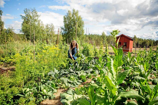 Grönsakerna växer och frodas i Saras land.