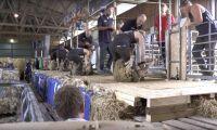 SM i fårklippning avgjort på Gotland