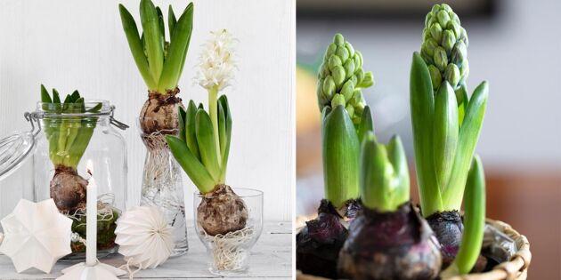 Så sköter du din hyacint – tre smarta tips som får den att leva längre