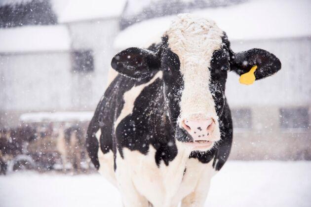 125 kor blev instängda när ett ladugårdstak rasade in till följd av stora snömassor (OBS - bilden har ingen koppling till händelsen).