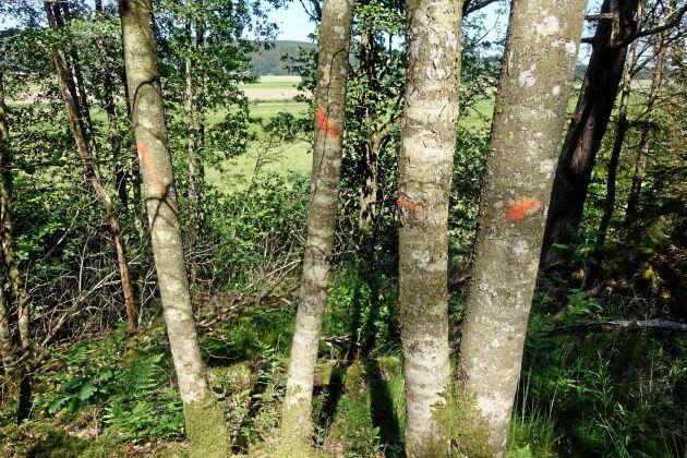 Alla träden inom biotopskyddsområden mättes ut och märktes upp