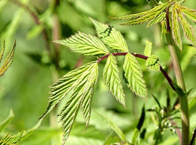 Älgörten, som känns igen på den röda stjälken, innehåller salicylsyra som bland annat används till örtte som lindrar värk. Tänk på att en växt kan vara fridlysta på en plats men inte på en annan. Ta reda på hur det ligger till där du befinner dig.