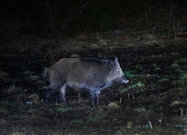 SÖRMLAND 2014-03-28 Vildsvinsjakt i Sörmland med Djursholms jakt. Vildsvinen är skydda och kommer nästan bara fram när det mörknat ute och jagas därför på kvällen och natten.