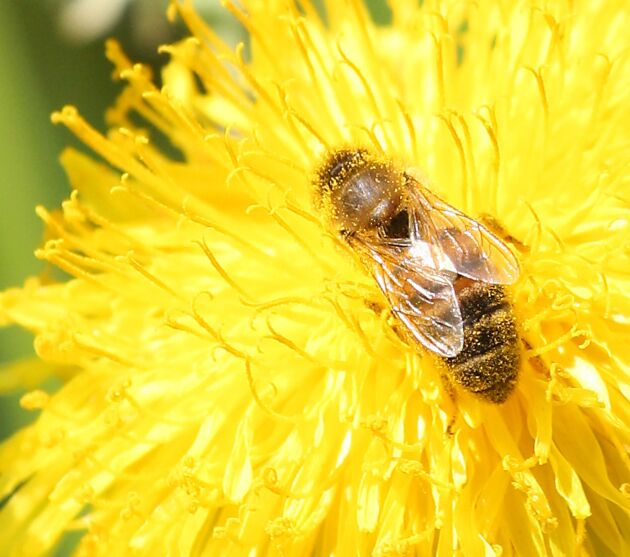 Sverige går nu med i en sammanslutning för länder och aktörer som vill vända den negativa utvecklingen för pollinerande insekter.