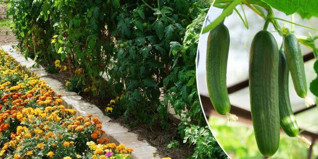 Odla tomater! Bästa plantkamraten – och växterna den avskyr
