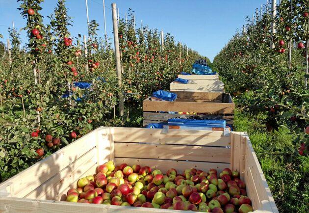 Catherine och Jan Ehrensvärd hoppas på att göra mer dryck av sina äpplen i framtiden.