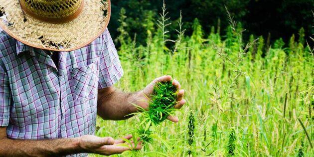Danska bönder vill odla cannabis åt staten