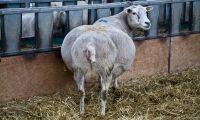 Avmaska till lamning - onödigt