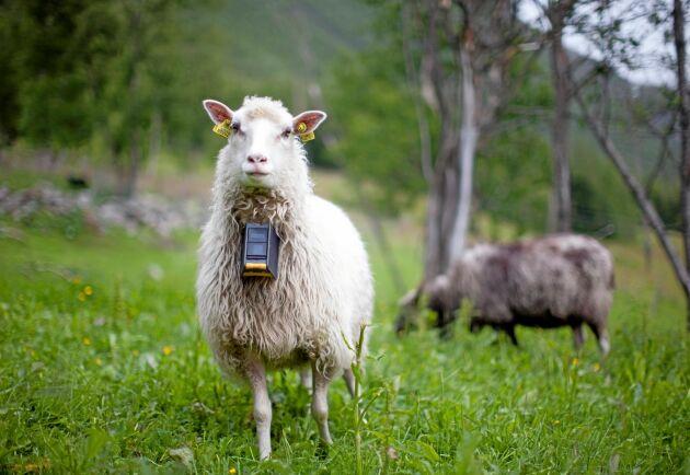 Förhoppningen är att inom en snar framtid få tillstånd från Mattilsynet, Norges motsvarighet till Jordbruksverket, att använda tekniken på kor och får.