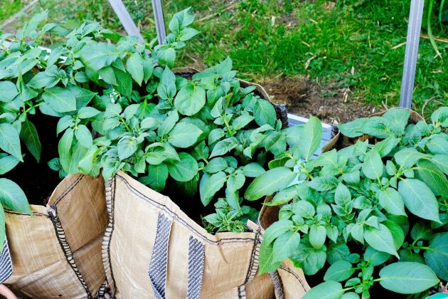 Tidiga sorter kan exempelvis odlas i säckar nära köket. Ut och gräva, in och koka.