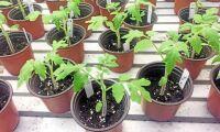 Tomaternas egna bladbakterier förhindrar sjukdomar