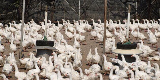 Sydvästra Frankrike töms på fågel