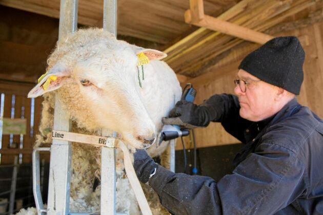 Klippdags för svenska får.
