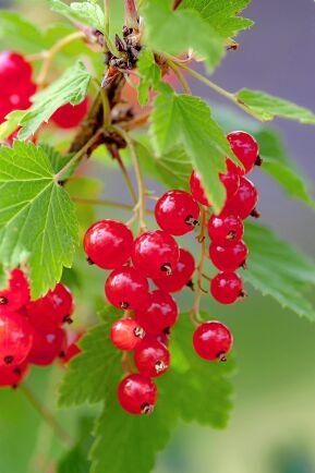 Vinbärsbuskar stimuleras att skjuta nya skott när de beskärs på vårvintern.