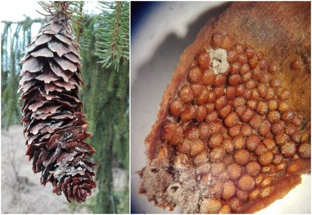 Kotte som är angripen av grankotterost. På undersidan av grankottens fjäll bildas aecidier, som kan fortsätta procudera aecidiesporer under flera år.