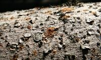 Rekordmånga granbarkborrar i norr