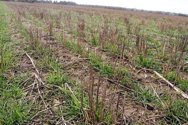 John Pawsey kombinerar öppen växtodling och tvååriga avbrottsvallar, med klöver och rajgräs. Här i mars månad vallår ett.
