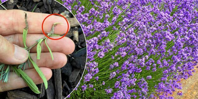 Lyckas föröka din lavendel med sticklingar – två bra knep!