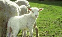Länsstyrelsen kritisk till frusna lamm