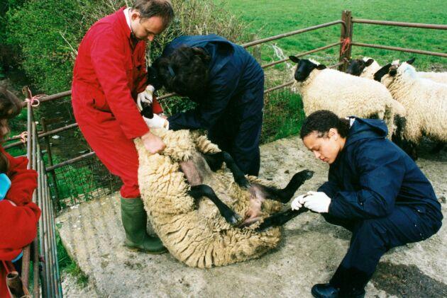 Svensk veterinärkompetens behövs. På bilden arbetar svenska veterinärer med mul- och klövsjuka i England.
