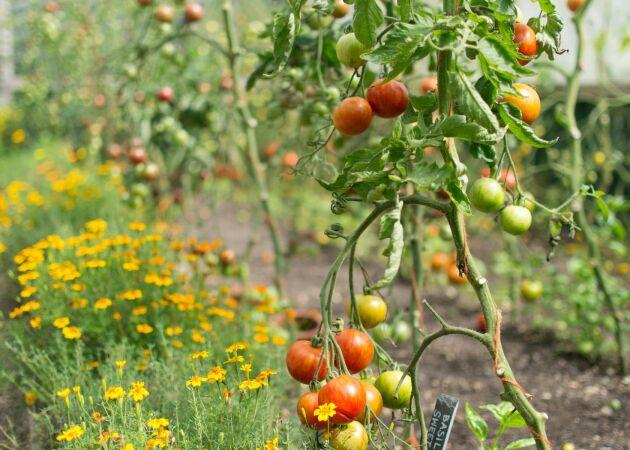 Tomatodlingens bästa plantkamrat – och växterna den avskyr